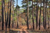 Dirt Road through the pine forest at Thung Salang Luang National