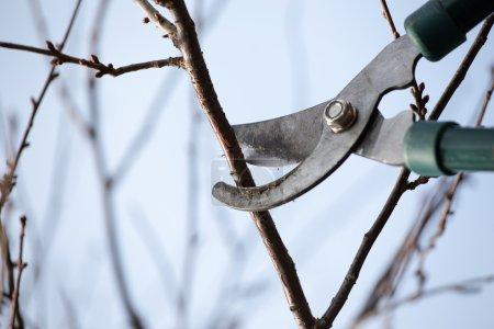 Photo pour Les ciseaux coupe la branche dans le jardin - image libre de droit