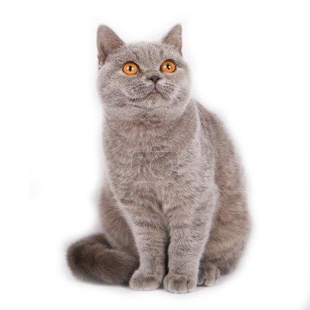 British short hair cat breed