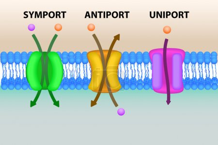 Cell membrane transport systems illustration