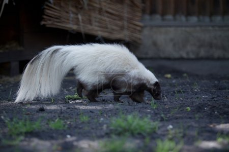 Skunk  side view