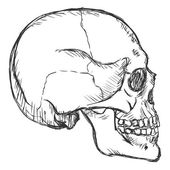 Sketch Side View Skull