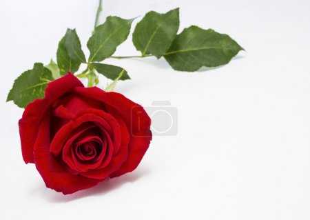 Photo for Red rose lying on the table, isolated on white background - Royalty Free Image