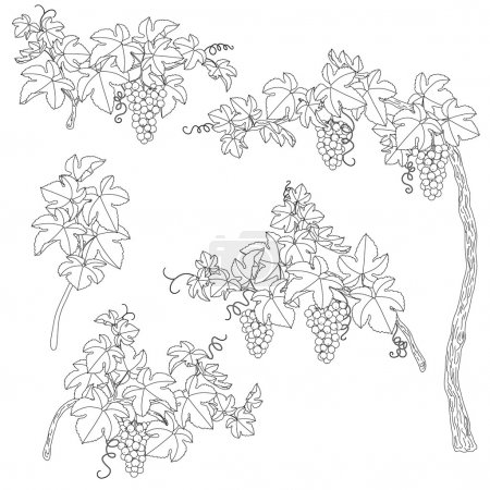 Illustration for Hand drawn set of outlines branches with bunch of grapes and leaves.  Black and white elements for coloring. - Royalty Free Image