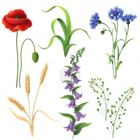 Illustration for Set of different wildflowers, wheat ears and  grass  isolated on white. - Royalty Free Image