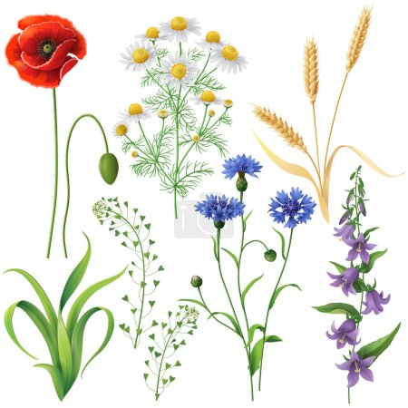 Illustration for Wildflowers set. Poppy, cornflowers, chamomile, bluebell, blindweed,  wheat ears and  grass  isolated on white. - Royalty Free Image
