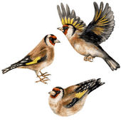 Watercolor Three Goldfinches