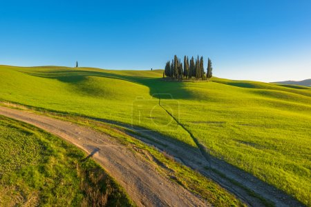 Group of cypresses, growing on the humps in Italy.