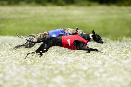Two Greyhounds lure coursing competition in a beautiful chamomil