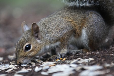 Gray squirrel looking for food around an oak tree...