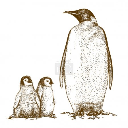 Illustration pour Gravure illustration antique du pingouin royal et deux pingouins nichés isolés sur fond blanc - image libre de droit