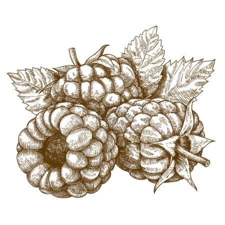 Illustration pour Gravure vectorielle dessin illustration antique de framboise avec des feuilles isolées sur fond blanc - image libre de droit