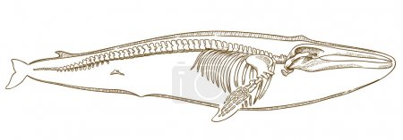 engraving  illustration of whale skeleton