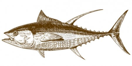engraving illustration of tuna