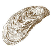 engraving  illustration of oyster shell