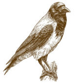 engraving illustration of crow