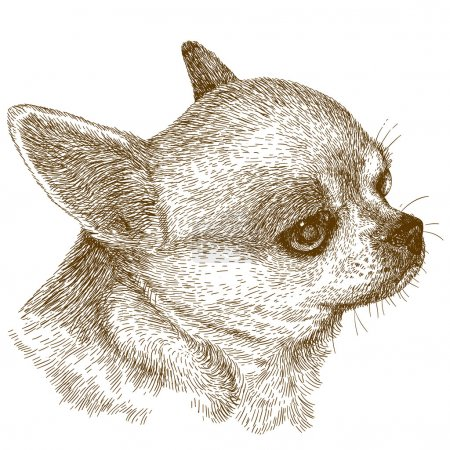 Vector antique engraving illustration of chihuahua...