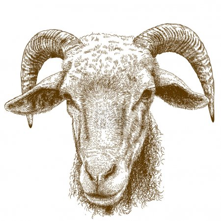 engraving  illustration of rams head