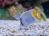 Photo of a tropical Fish