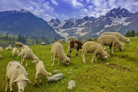 Grazing Goat and Sheep in the mountains