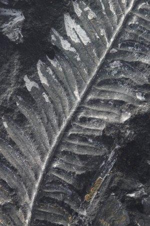 macro fossilized fern on black stone