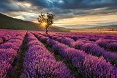 Lavendel-Morgenröte