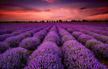 Photo for Stunning landscape with lavender field at sunset - Royalty Free Image