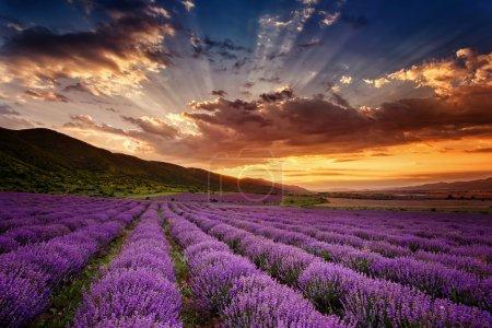 Photo pour Superbe paysage avec champ de lavande au lever du soleil - image libre de droit