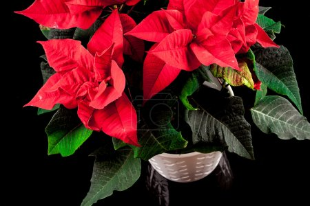 Photo pour Poinsettia (euphorbia pulcherrima), connue aussi comme étoile de Noël . - image libre de droit