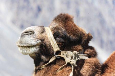 Camel at india