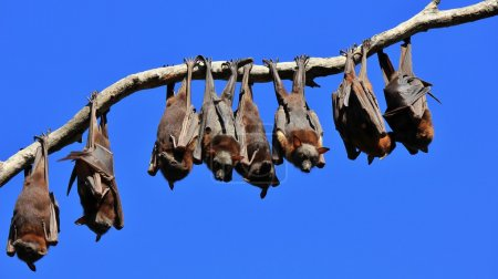 Fruit bats resting on a tree