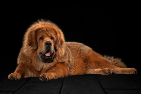 Dog. Tibetan mastiff on black background