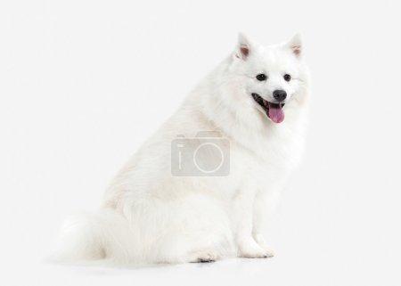 Dog. Japanese white spitz on white background