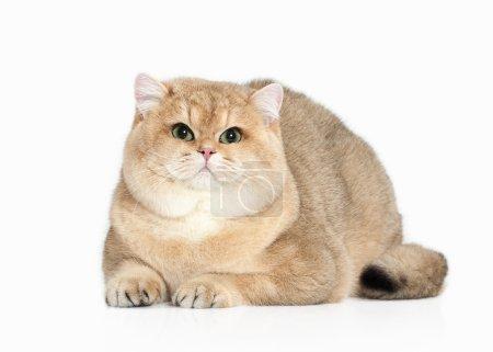 Cat. Golden british cat on white background
