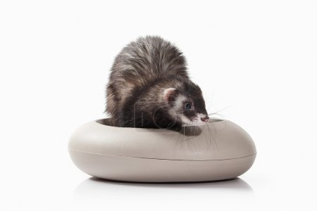 Old ferret with grey bowl