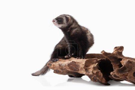 Old ferret on stump