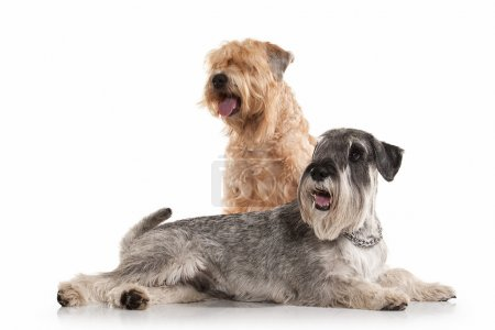 Dog. Miniature schnauzer  and irish soft coated wheaten terrier