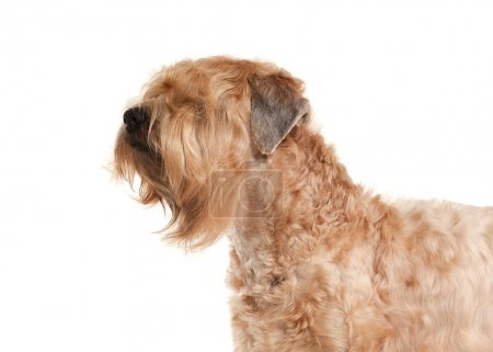 Dog. Irish soft coated wheaten terrier