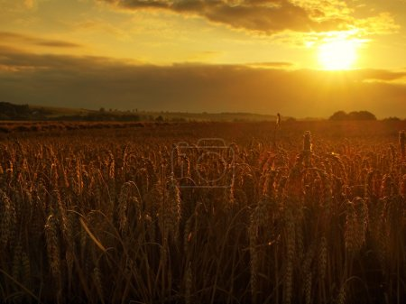 Morning yellow wheat field on the sunset cloudy orange sky background Setting sun rays on horizon in rural meadow Close up nature photo Idea of a rich harvest