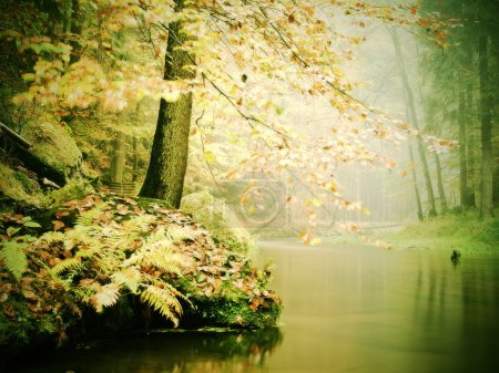 Old beech trees above clear water of mountain river. Big mossy sandstone boulders lay in water. First leaves turn to yellow and orange color, the fall is beginning.