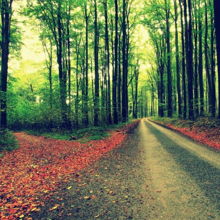 Curved path bellow beech trees. Spring afternoon in forest after rainy day.  Wet asphalt with smashing orange leaves.