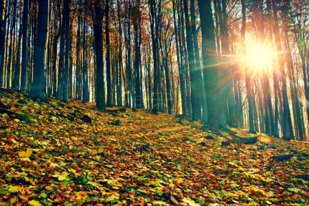 Sunrise in autumn beech and maple  forest