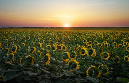 Sunflower fields in warm evening light.