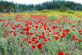 Wild red poppy and yellow daisy flowers .