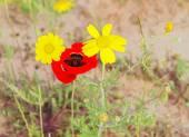 Květy divoké červeného máku a žluté sedmikrásky