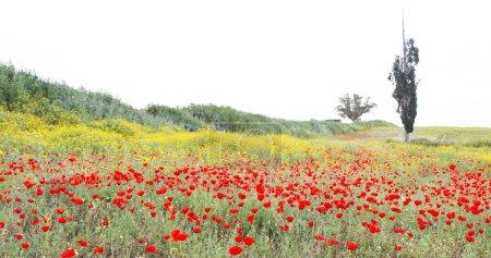 Photo pour Fleurs sauvages daisy de pavot et blanc rouge dans la Prairie. - image libre de droit