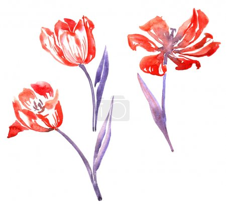 Three watercolor red tulips