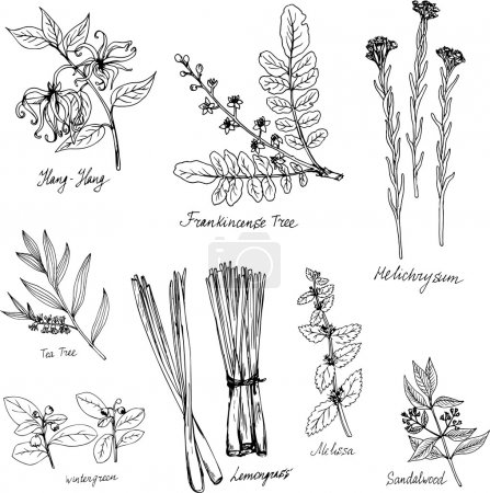 hand drawn medical and aromatic plants