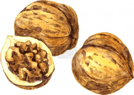 walnuts drawing by watercolor