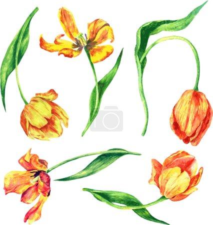 set of watercolor tulips